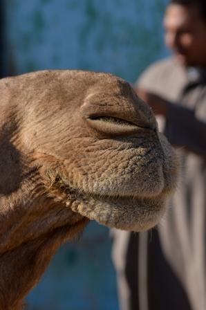 Birqash Camel Market, Egypt
